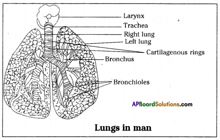 AP SSC 10th Class Biology Important Questions Chapter 2 Respiration 30