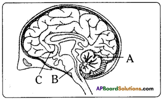 AP SSC 10th Class Biology Important Questions Chapter 5 Coordination 4