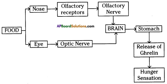AP SSC 10th Class Biology Important Questions Chapter 7 Coordination in Life Processes 1