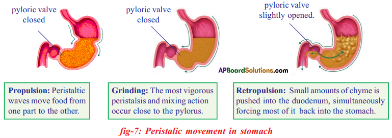 AP SSC 10th Class Biology Important Questions Chapter 7 Coordination in Life Processes 7
