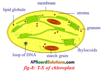 AP SSC 10th Class Biology Solutions Chapter 1 Nutrition – Food Supplying System 14