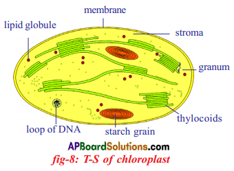 AP SSC 10th Class Biology Solutions Chapter 1 Nutrition – Food Supplying System 3